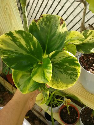 Variagated Peperomia for Sale in Poinciana, FL