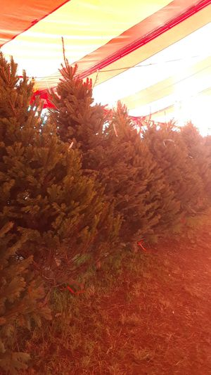 Christmas trees for Sale in Land O' Lakes, FL