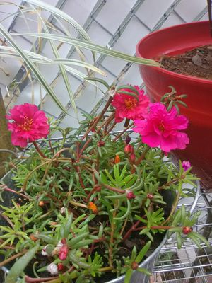 Flowering Succulent for Sale in Poinciana, FL