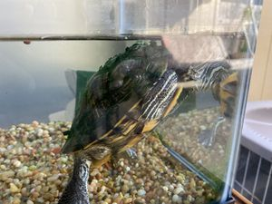 Turtle tank w/ free turtle for Sale in San Diego, CA