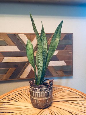 Live Indoor Snake Plant in Boho Ceramic Planter for Sale in Phoenix, AZ