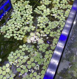 Salvinia Floating Aquatic Plants For Aquarium And Fish Tanks for Sale in Los Angeles,  CA