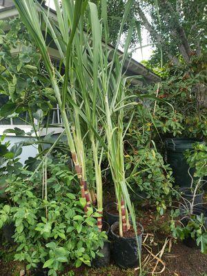 Sugarcane Tree for Sale in Sierra Madre, CA