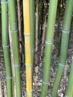 Bamboo for Sale in Wildwood, MO