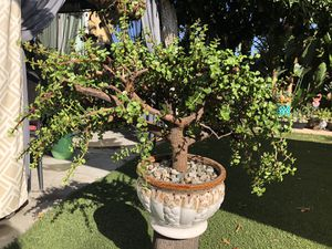 Very gorgeous, big succulent tree in a beautiful ceramic pot, see pics for Sale in Los Angeles, CA
