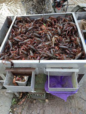 Crawfish for Sale in Woodworth, LA