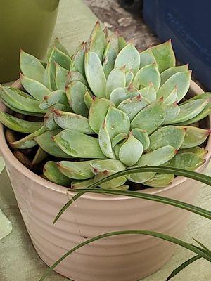 Succulent plants for Sale in Miami, FL