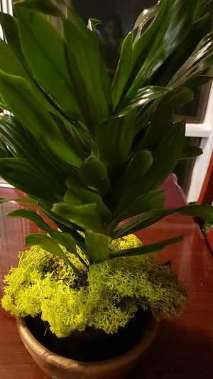 Dracaena compacta plant for Sale in Adelphi, MD