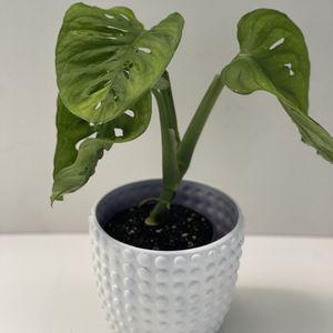 Monstera Adansonii Plant for Sale in Jacksonville, FL