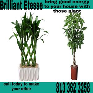 Lucky bamboo and money trees for Sale in Bradenton, FL