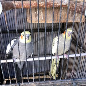 Pair Cockatiels Needs New House for Sale in San Diego, CA