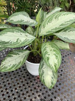 Plants De Sombra Grande for Sale in Bellflower,  CA