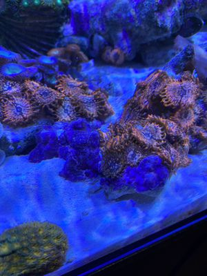 Utter Chaos Coral Polyps for Sale in Palm Beach Gardens, FL
