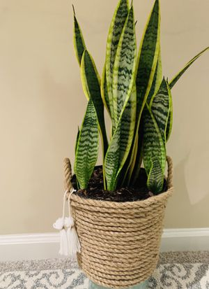 Snake plant (sansevieria) for Sale in Alpharetta, GA