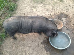 Free potbelly pig Wilma for Sale in Centralia, MO