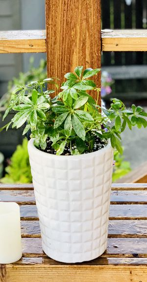 Live indoor Umbrella Plant in a textured ceramic planter flower pot—firm price for Sale in Seattle, WA