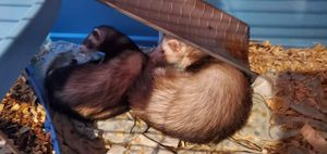 Ferrets for Sale in Frazeysburg, OH