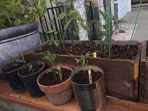 Tomato plants container 1 gallon clay, metal. for Sale in San Jose, CA