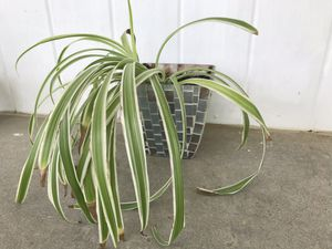 Spider plant in mosaic glass flower pot for Sale in Finksburg, MD