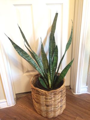 sansevieria/snake plant/ mother-in-law's tongue for Sale in Irving, TX