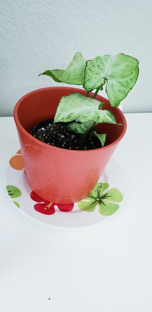 Live baby arrowhead plant for Sale in Chandler, AZ