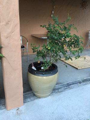 Two large glazed pots with plants selling them with everything inside them for Sale in Ocoee, FL