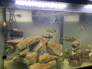 Cichlids for sale for Sale in New Athens, IL