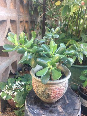 Jade in clay pot for Sale in Lodi, CA