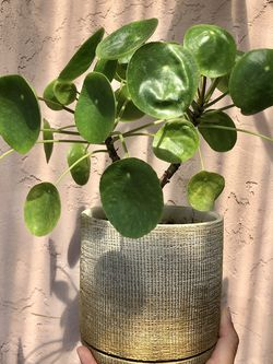 Pilea Peperomioides (Chinese Money Plant) for Sale in Summerfield,  FL