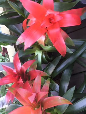 """Discounted! Red flowering Bromeliads great foliage leaf potted plants 12""""-18"""" tall for Sale in Cleveland, OH"""