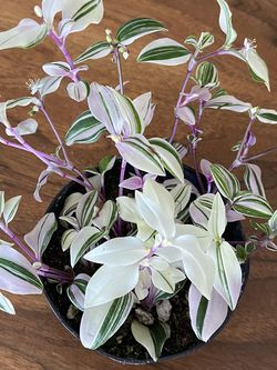 Rainbow Tradescantia Plant for Sale in Damascus,  OR