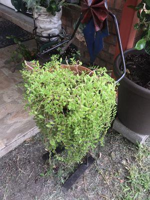 sedum stonecrop succulent plant for Sale in Grand Prairie, TX